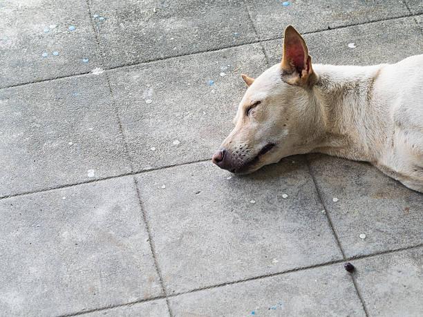 thai dog sleeping - dog looking at floor path stockfoto's en -beelden