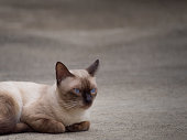 Thai famous cat (Siamese Cat, Moon Diamond, Seal Point) in dark and light brown hair and blue eyes lying and relaxing on floor with copy space
