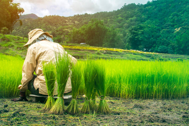 Thai farmers are working. stock photo