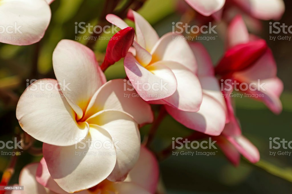 Thai flowers royalty-free stock photo
