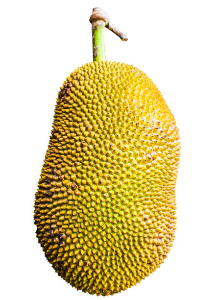 thai früchte jackfrüchte auf einem schönen weißen hintergrund. - jackfrucht stock-fotos und bilder