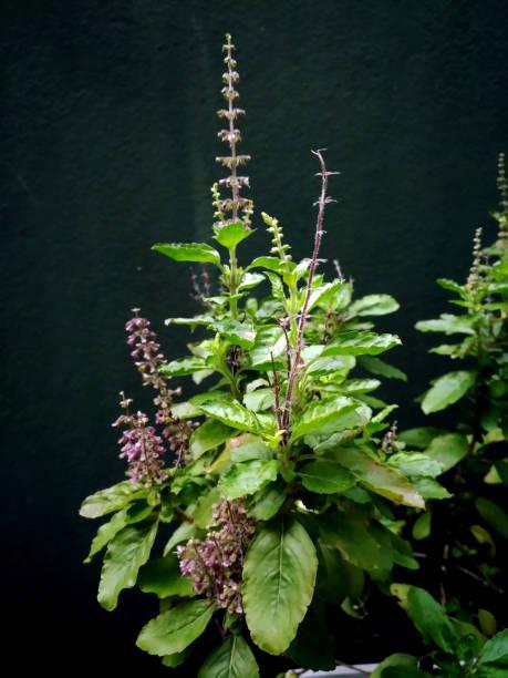 thailändische heilige basilikum blüte, über dunklen hintergrund scheint - ocimum tenuiflorum stock-fotos und bilder