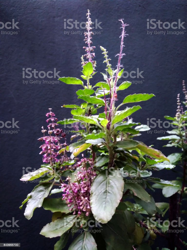 Thai Holy Basil Leaves and Flowers, glow among the dark stock photo