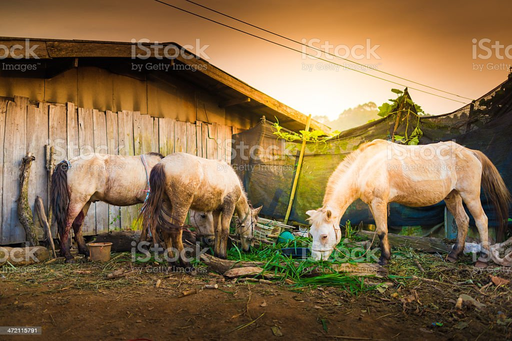 Thai horse eating grass in a field. royalty-free stock photo