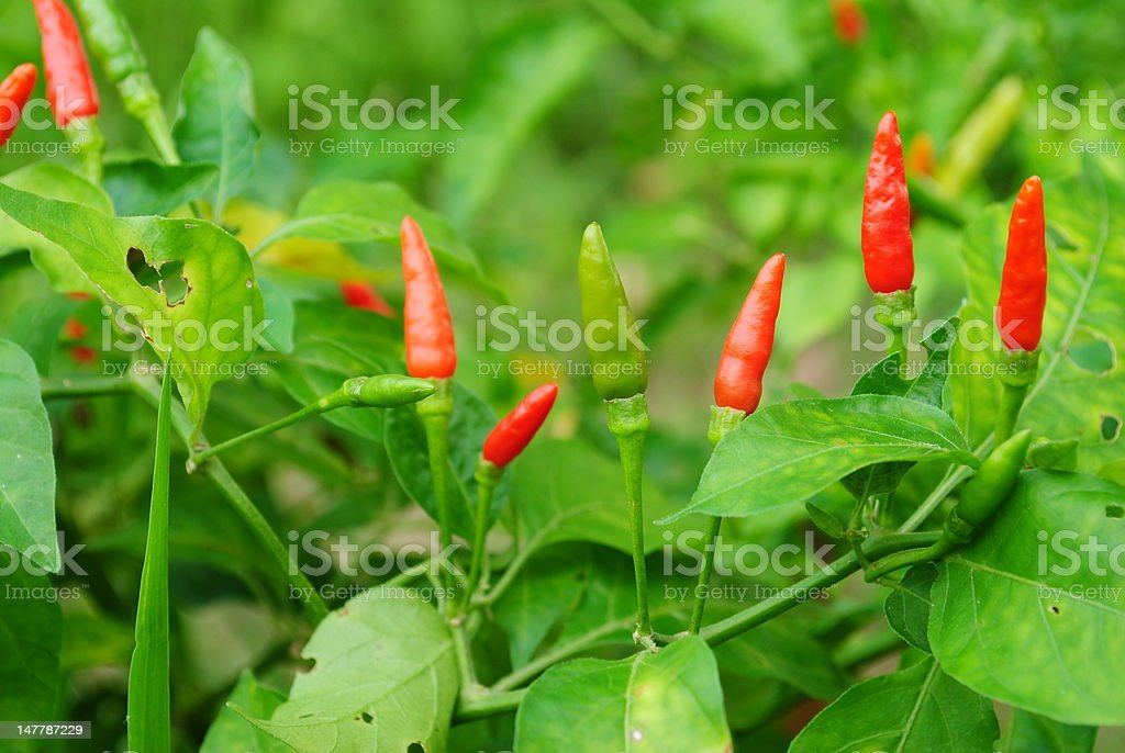 Thai Hot Peppers stock photo