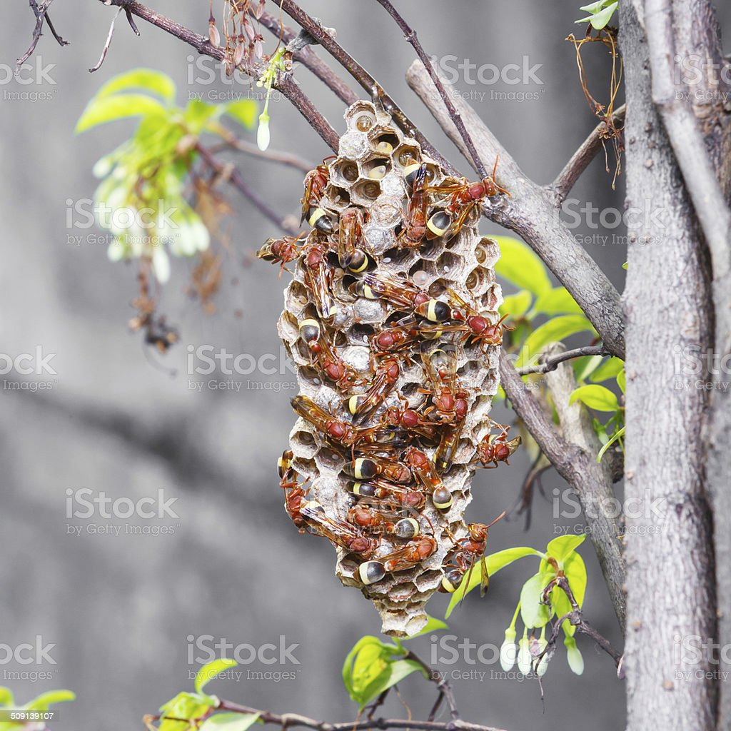 Thai hymenoptera - foto de stock