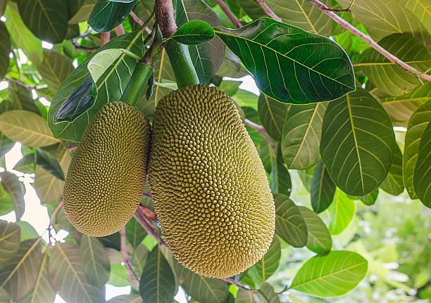 thai jackfruit on the tree in the garden close-up - jackfrucht stock-fotos und bilder