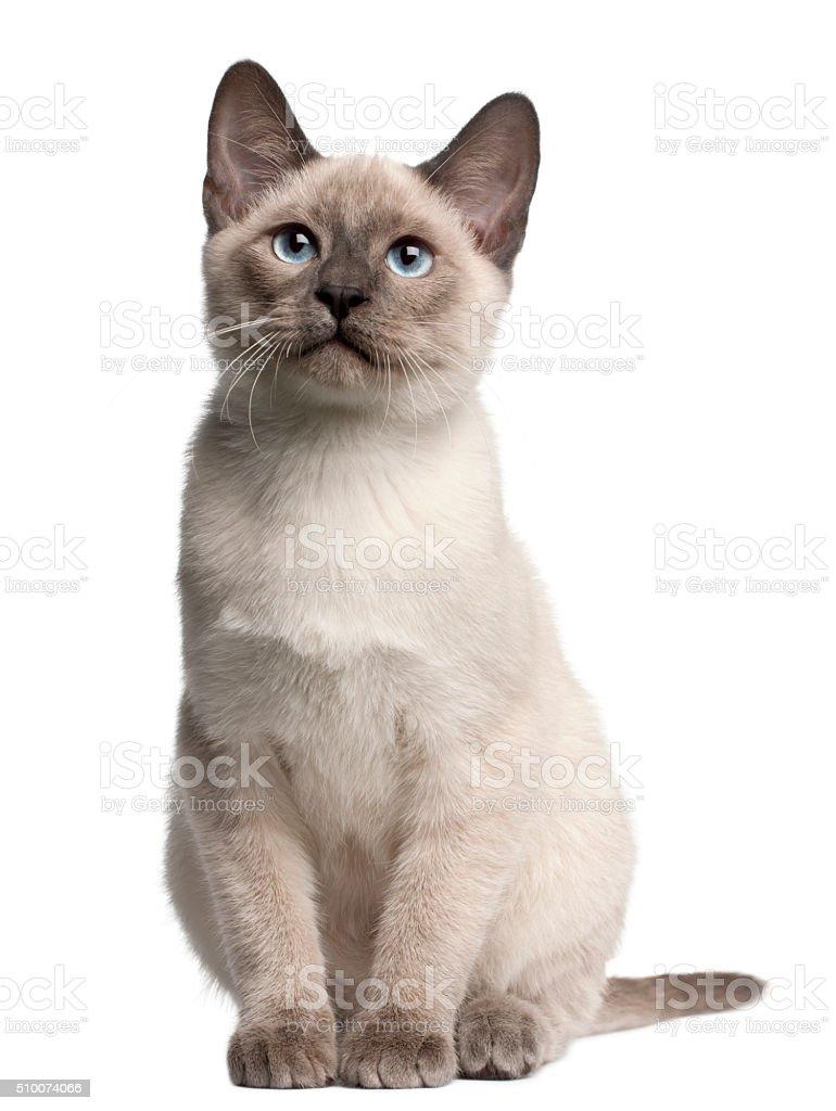 Thai kitten, 4 months old, sitting stock photo