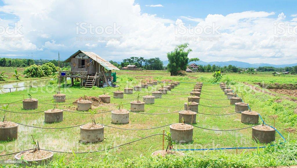 Thai Lemon Farm Garden Stock Photo & More Pictures of Africa | iStock