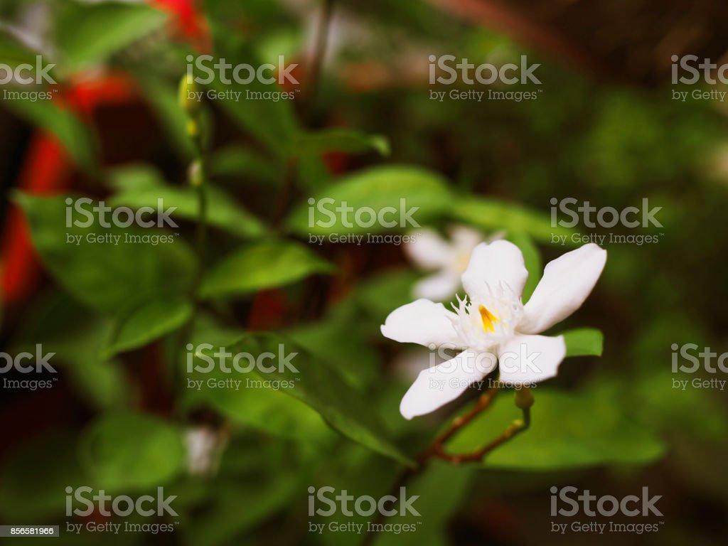 Thai local white Phut Pitchaya (Inda) flower, close up individual stock photo