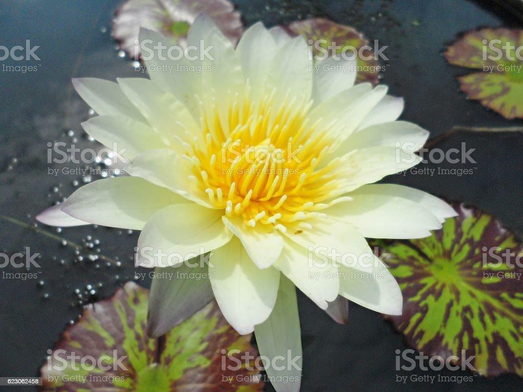 Thai lotus flower stock photo more pictures of horizontal istock thai lotus flower royalty free stock photo izmirmasajfo