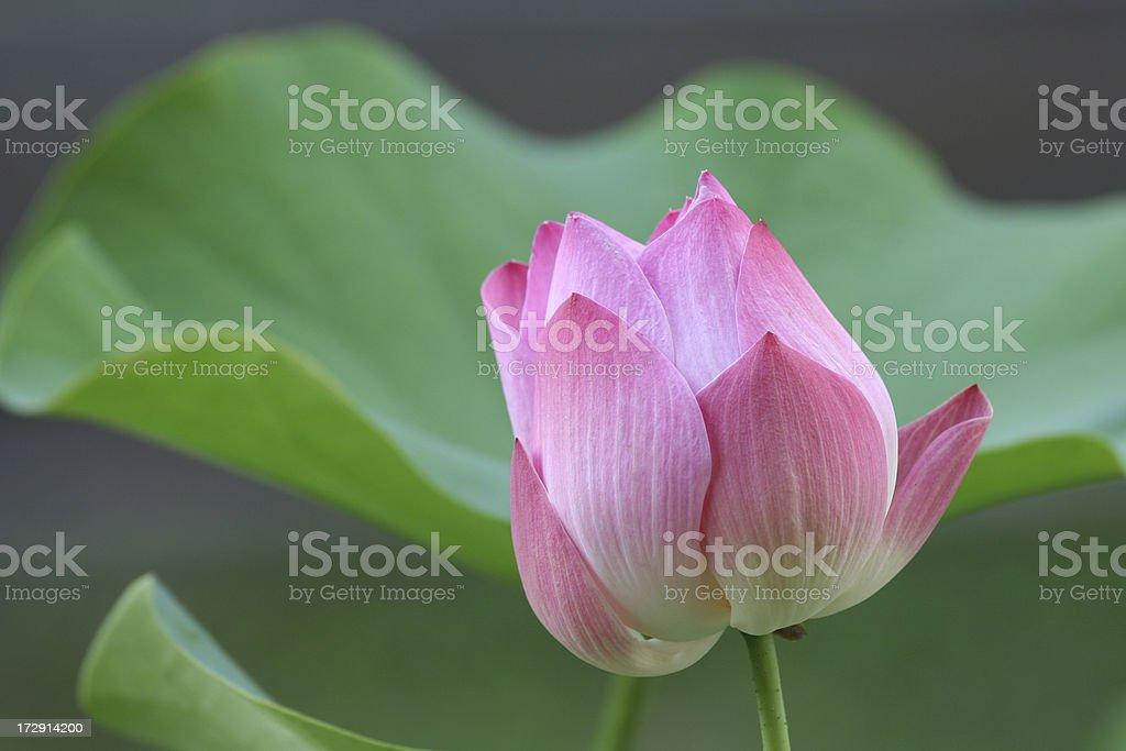 Thai lotus royalty-free stock photo
