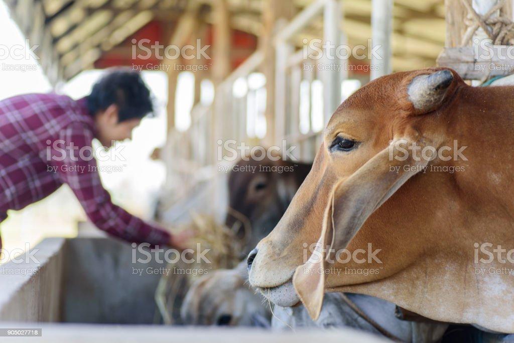 Thai Mann Betrieb Reis Stroh und Fütterung, Kuh – Foto