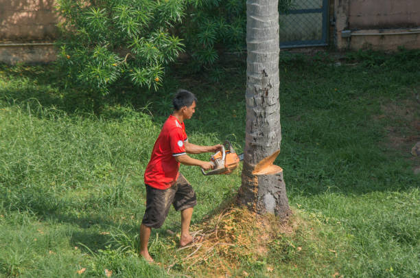 Thai man is cutting coconut palm tree in the garden with chainsaw stock photo