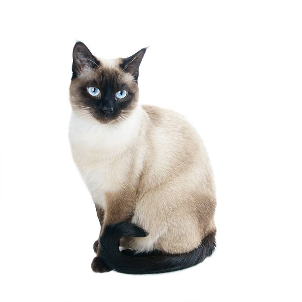 informative speech siamese cat Persuasive speech: cats vs dogs your persuasive speech will only be convincing if you spend a while on the informative a cat cannot be easily.