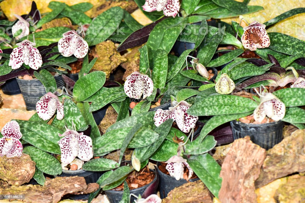 Thai Orchid in the garden . orchid is the queen of flower in the world stock photo