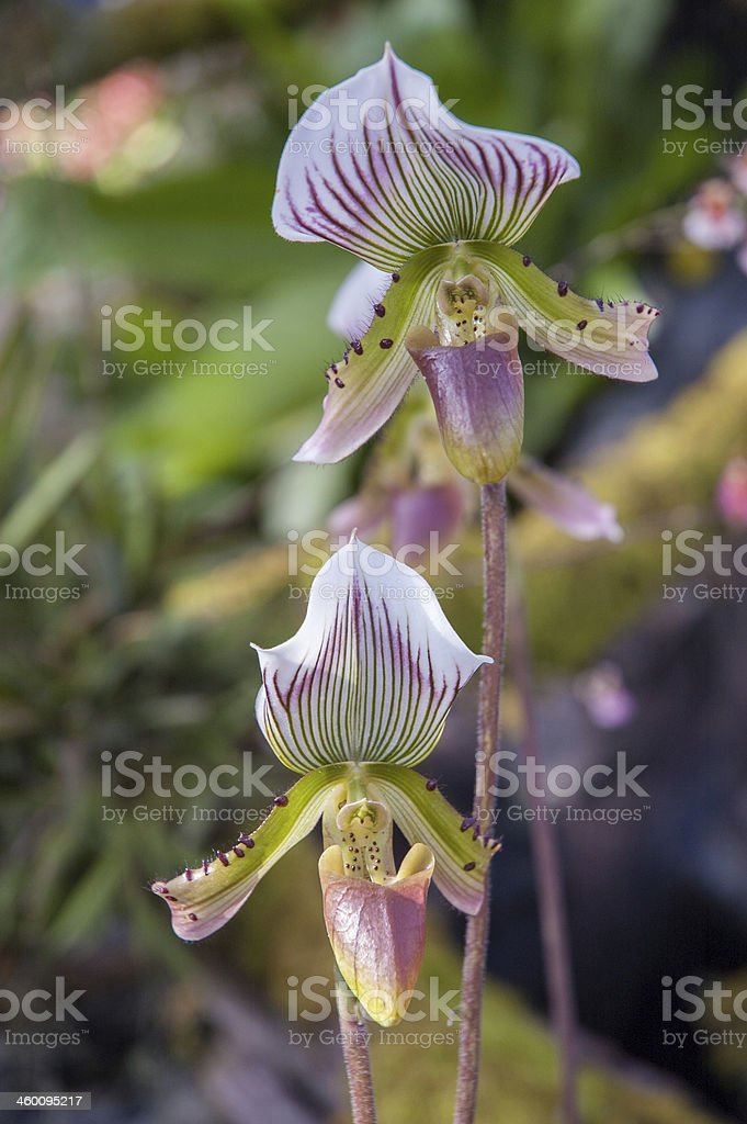 Thai Orchid (Paphiopedilum Callosum) stock photo