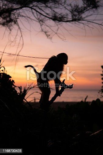 Thai monkey on a tree. Sunset