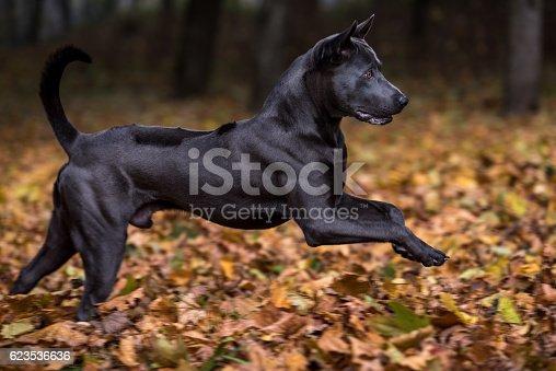 Thai Ridgeback Dog in Autumn Background.