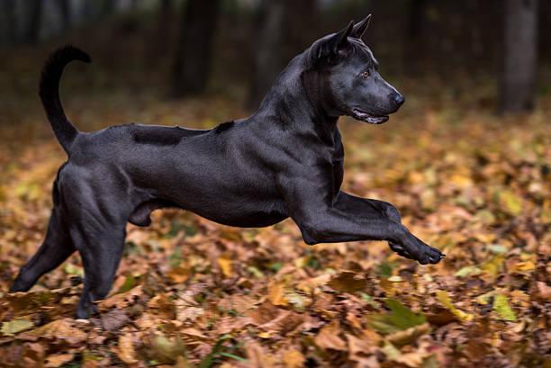 Thai Ridgeback Dog is Running. stock photo