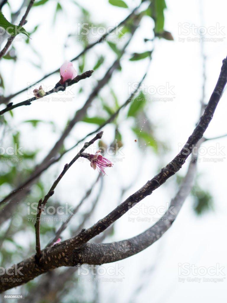 Thai Sagura royalty-free stock photo