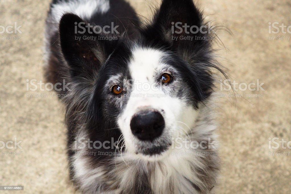 Thai serious dog stock photo