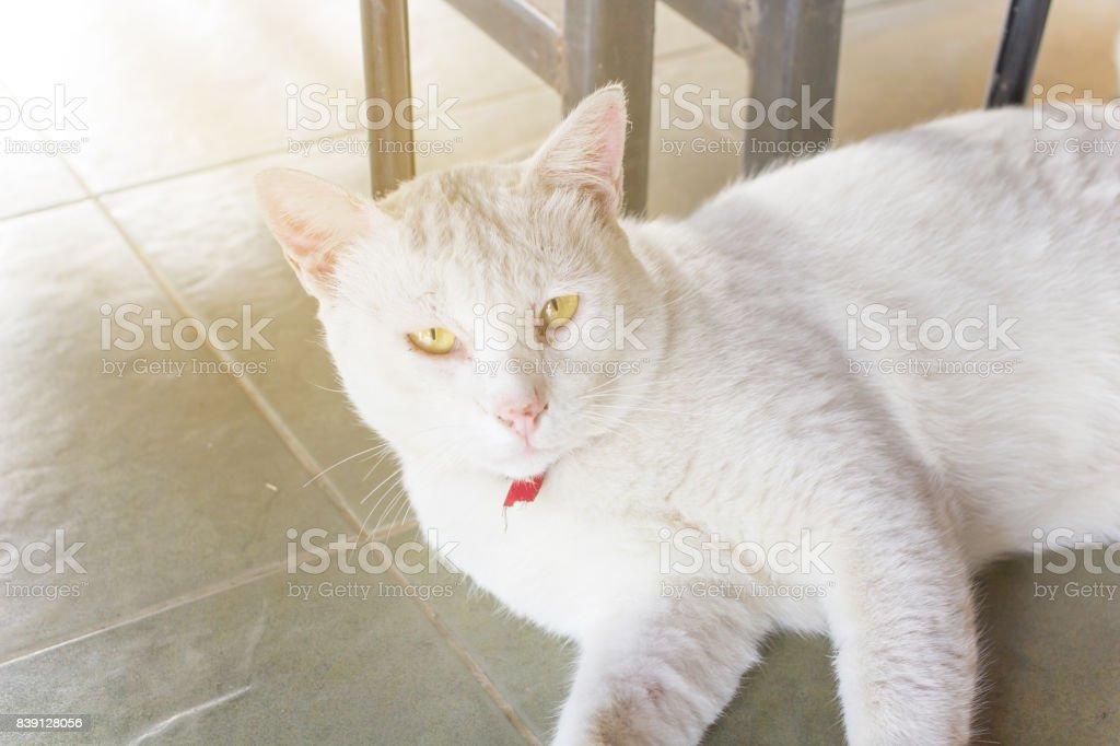 Thai sleepy cat stock photo