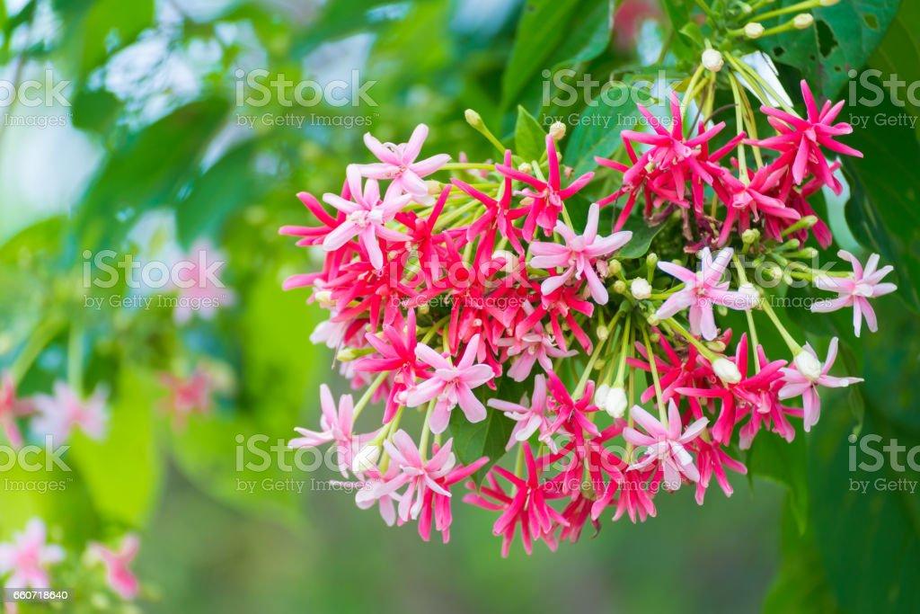 Thai small pink flowers blossom quisqualis indica flower plant thai small pink flowers blossom quisqualis indica flower plant chinese honeysuckle rangoon creeper mightylinksfo
