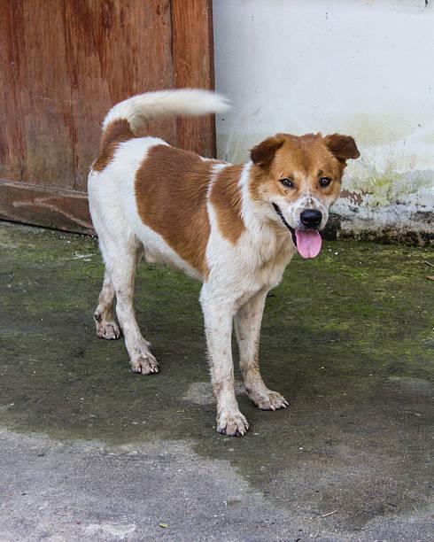 thai stray dog - dog looking at floor path stockfoto's en -beelden