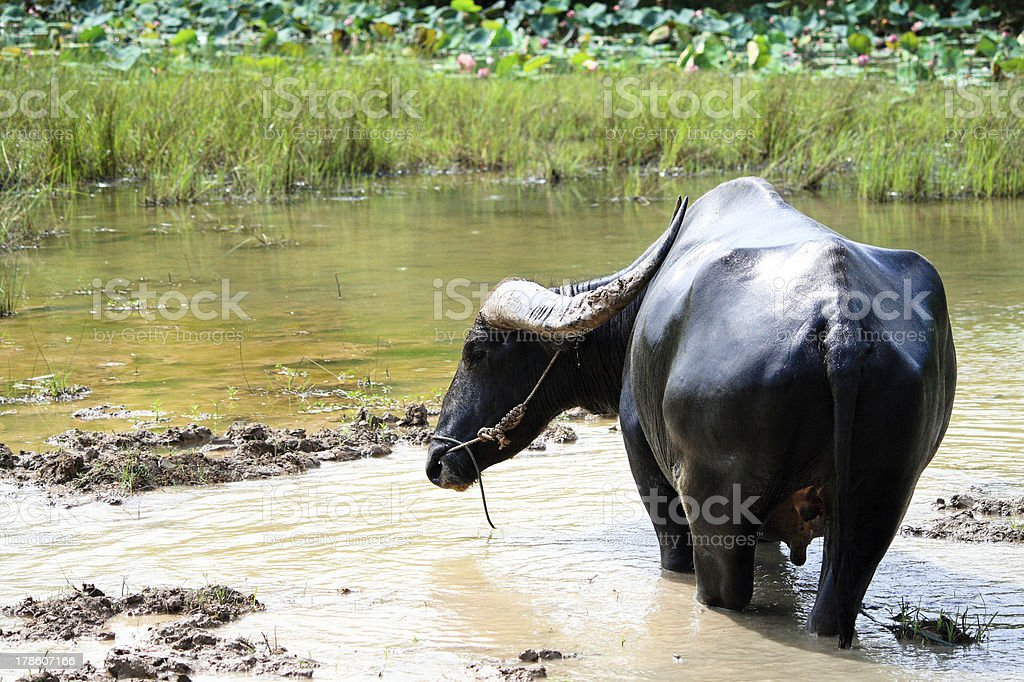 Thai water buffalo in pond royalty-free stock photo