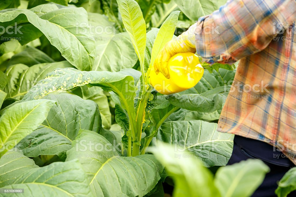 Thai woman put Insecticide and fertilizer in tobacco plant stock photo