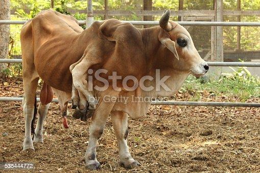 istock Thailand Cow six legs 535444772