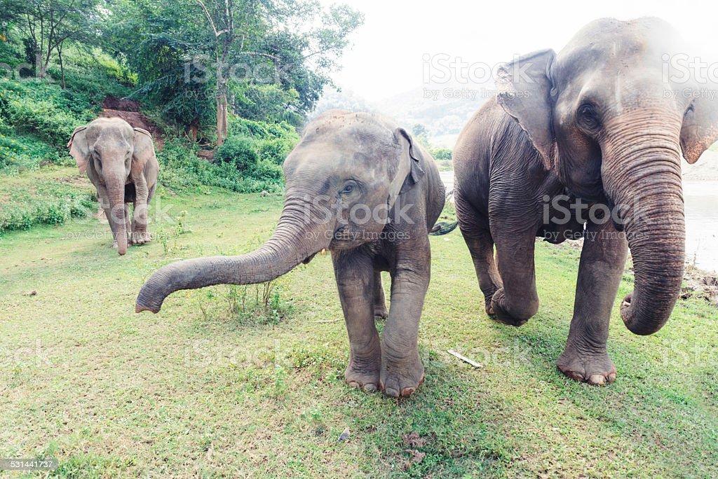 Thailand Elephants Roaming Free in Chiang Mai stock photo