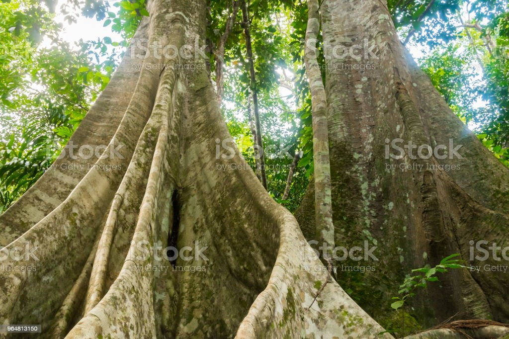 Thailand rainforest with big trees in the Koh Samui Island royalty-free stock photo