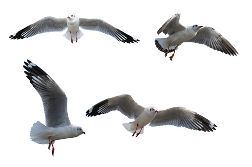 A seagull in flight looking at the camera.