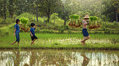 Black Hmong woman harvesting rice & carrying her baby. Hmong Tribe is one of the largest ethnic minorities in Vietnam is the Hmong Tribe. They came from China, and now live in different regions of Vietnam.
