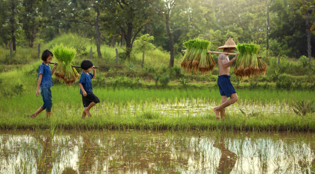 Thailand the family farmer two children are walking behind his father Thailand the family farmer two children are walking behind his father on the rice field. rice paddy stock pictures, royalty-free photos & images