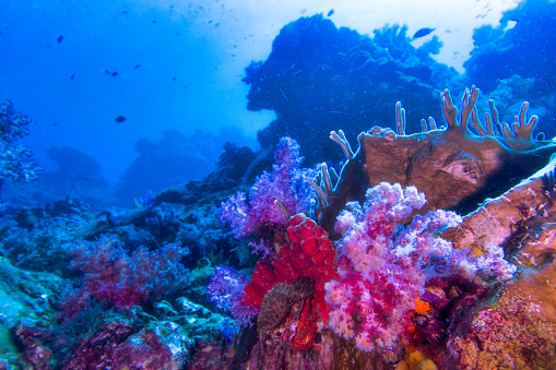 Hin Daeng aka Red Rock is one of Thailand's most famous dive sites.  Located in the Andaman sea and famed for it's bright Red, Purple and Pink coloured soft corals.  A true otherworldly underwater wilderness.