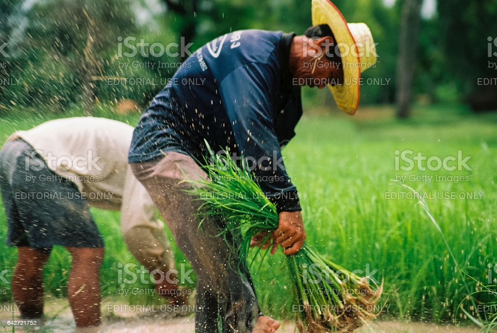 Thailand's traditional rice farmer. Thailand's Sisaket province in October 29,2005. stock photo