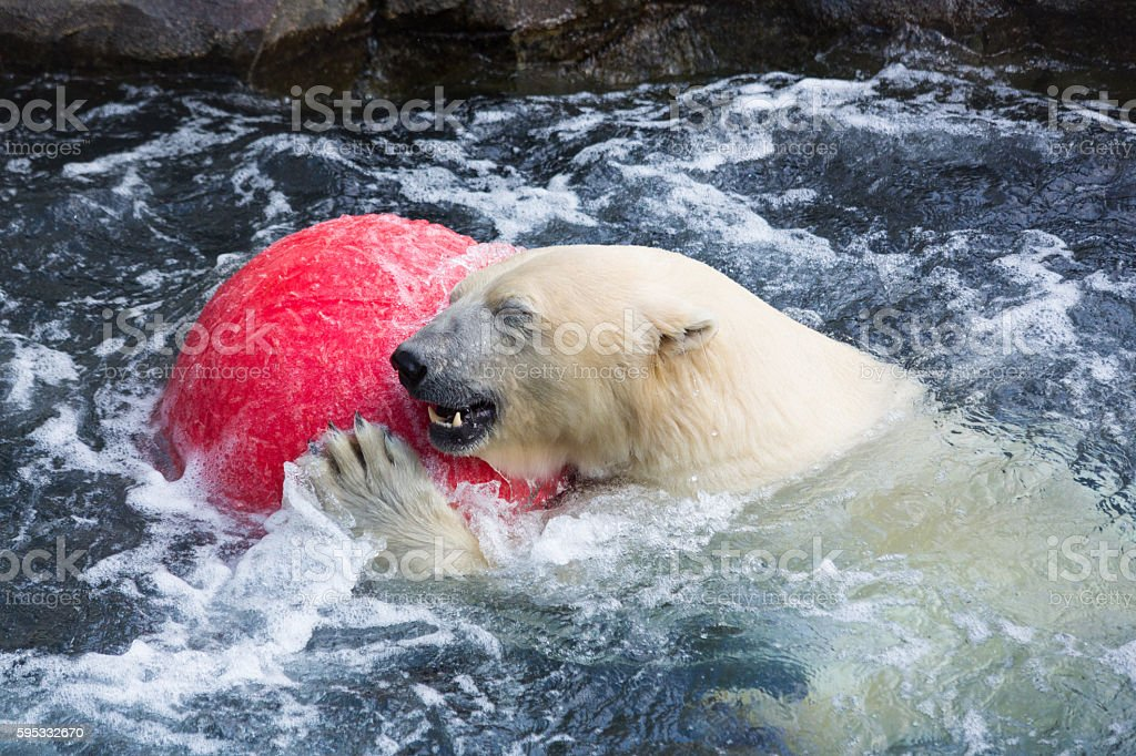 Thalarctos Maritimus (Ursus maritimus) commonly known as Polar bear - foto stock