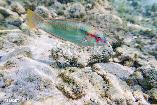 Thalassoma fish in ocean, Maldives.