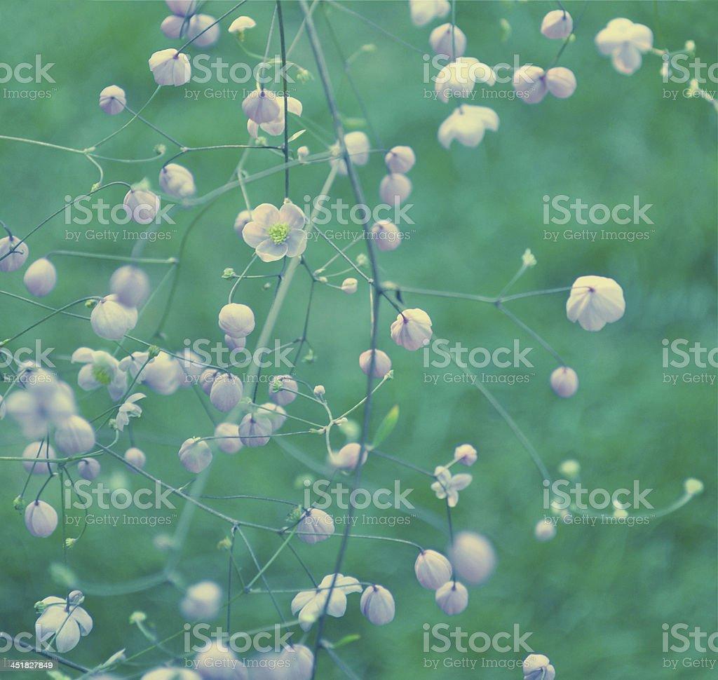 Thalictrum rochebruneanum - meadow rue stock photo