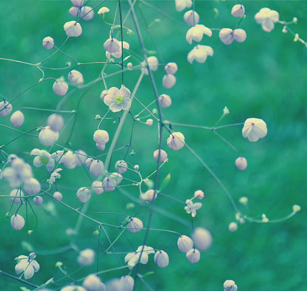 Thalictrum rochebruneanum - meadow rue stock photo