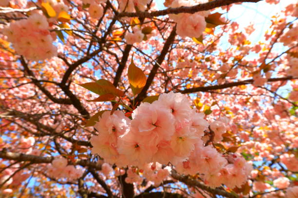 Thank you, double cherry blossoms, spring, ruins, relics, cemeteries, traditions, hanoks, gates, stone walls, stock photo