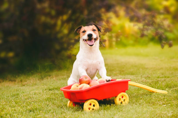 Thanksgiving concept with cute dog and harvest of apples in pull cart Jack Russell Terrier standing near wheelbarrow with fresh apples thanksgiving pets stock pictures, royalty-free photos & images