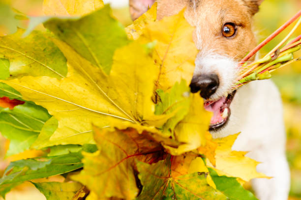 Thanksgiving concept with dog and autumn maple leaves Jack Russell Terrier dog fetches fall bouquet thanksgiving pets stock pictures, royalty-free photos & images