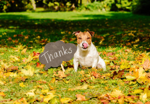 "Thanksgiving concept with dog on fall leaves and plate with ""thanks"" word on it Jack Russell Terrier sitting on autumn lawn at park thanksgiving pets stock pictures, royalty-free photos & images"
