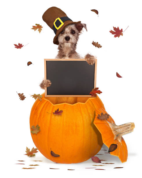 Thanksgiving Dog With Chalk Board Funny dog wearing Thanksgiving pilgrim hat sitting in pumpkin holding blank chalkboard sign with autumn leaves falling thanksgiving pets stock pictures, royalty-free photos & images