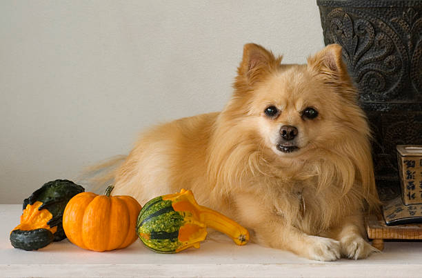 Thanksgiving Greetings Little pomeranian dog is showing off his harvest bounty. thanksgiving pets stock pictures, royalty-free photos & images