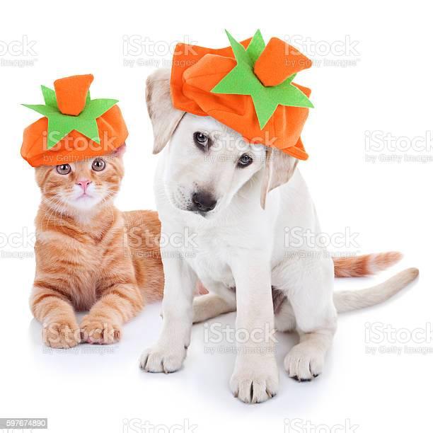 Thanksgiving halloween pumpkin costume pets dog and cat picture id597674890?b=1&k=6&m=597674890&s=612x612&h=f2kpnkadas wgqxu 098xq5i8a bjsgw kzgeprbzqs=